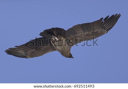 Andean Condor, Flying Over the Patagonia.