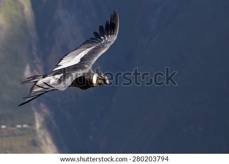 Andean Condor in the Colca Canyon, Peru - stock photo