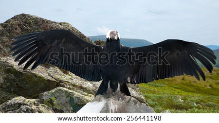 Andean condor (Vultur gryphus)  in wildness area - stock photo