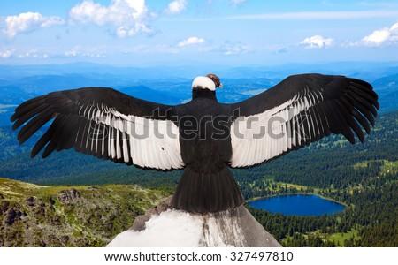 Andean condor (Vultur gryphus)  in wildness area - stock photo