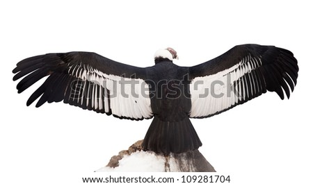 Andean condor (Vultur gryphus).  Isolated over white background - stock photo