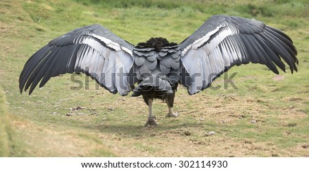 Andean Condor, wings expanded - stock photo