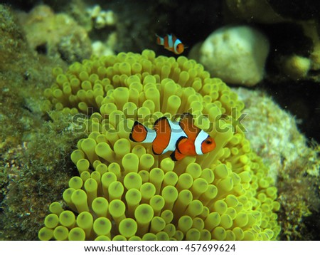 Anemone and anemone fish. Clownfish in the nest on a tropical coral reef. Amphiprion percula, swimming among the Actiniaria tentacles of its home. Koh Lipe Thailand - stock photo