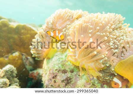 Anemone and anemone fish, Pacific Clownfish in a colorful purple host anemone - stock photo