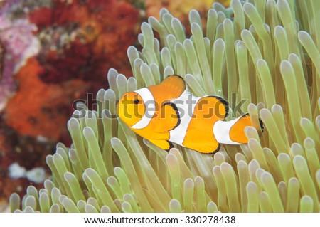 Anemone and anemone fish, Tulamben, Bali, Indonesia. - stock photo