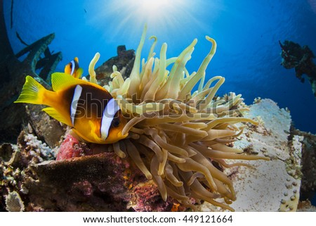 Anemone and Anemonefish, Cedar Pride wreck. Sun is in the background. Aqaba Jordan. - stock photo