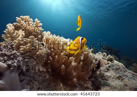 anemone and anemonefish taken in the Red Sea