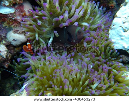 Anemone and clown fish at Lambeh Straight, north Sulawesi, Indonesia, the black volcanic sands hide all manner of mysteries and oddities form the underwater world