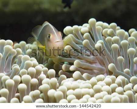 Anemone and Pink clownfish close-up. - stock photo