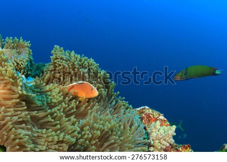 Anemone and Skunk clownfish on coral reef underwater
