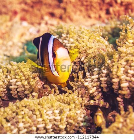 Anemone and Yellowtail clownfish close-up. - stock photo