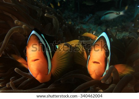 Anemone, clownfish, coral underwater in ocean - stock photo