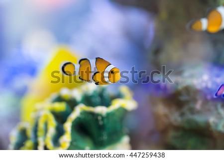 Anemone Fish, Clown Fish - stock photo