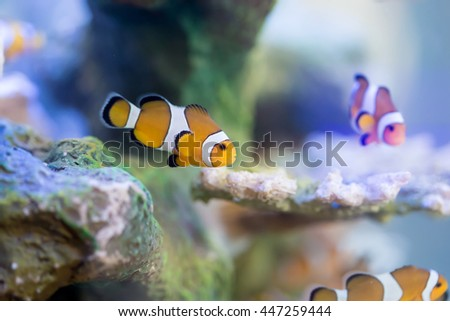 Anemone Fish, Clown Fish - stock photo