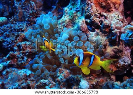 anemone fish, clown fish, underwater photo - stock photo