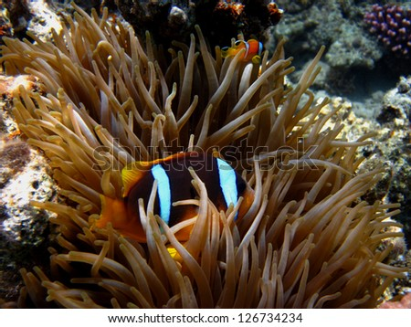 anemone fish hiding among the anemones in the coral reef