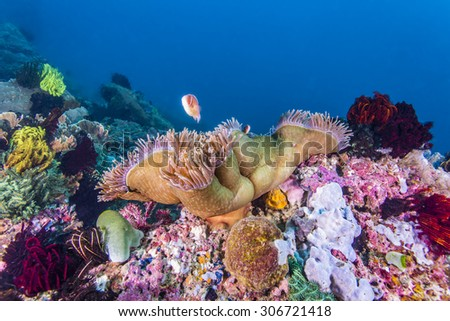 Anemone fish in anemone in tropical coral reef.