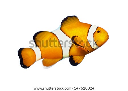 Anemone fish isolated on White - stock photo