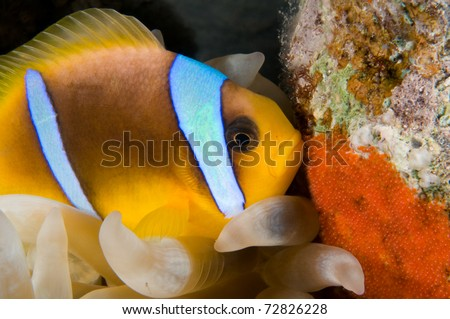 Anemone fish laying eggs - a series of UNDERWATER IMAGES. - stock photo