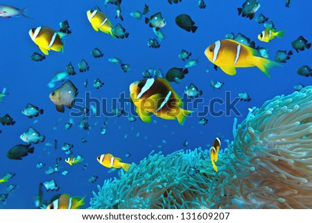 Anemone fish on the soft coral