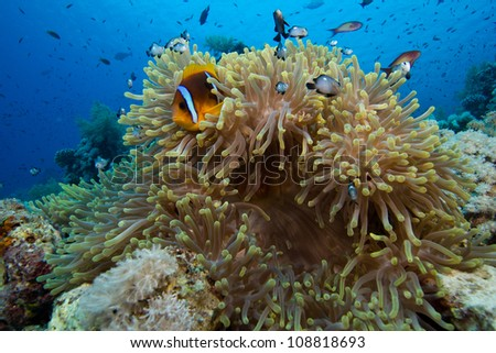 Anemone fish sits atop anemone