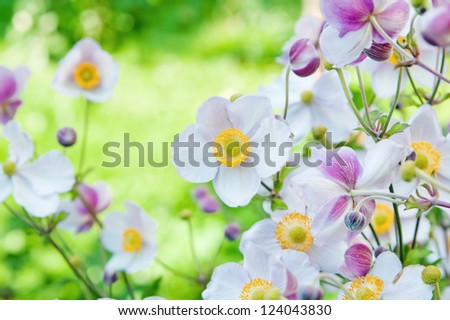 Anemone japonica flowers, lit by sunlight  in the garden. - stock photo