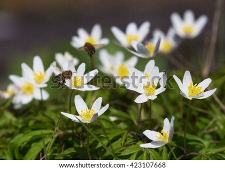 Anemone nemorosa is an early-spring flowering plant
