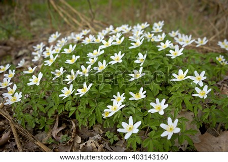 Anemone nemorosa is an early-spring flowering plant in the genus Anemone in the family Ranunculaceae. Common names include wood anemone, windflower, thimbleweed and smell fox. - stock photo