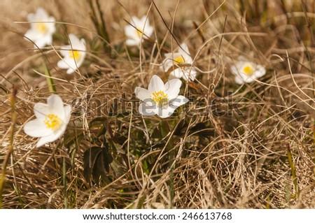 Anemone Nemorosa L.  - stock photo