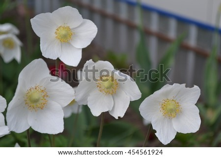 Anemone Silvestris. Delicate white flowers close-up - stock photo