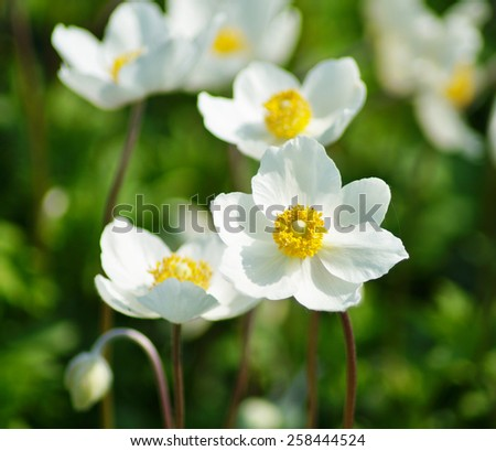 Anemone sylvestris (snowdrop anemone) - White flowers in the botanical garden - stock photo
