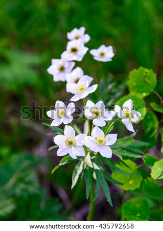 Anemone, white flowers, green background