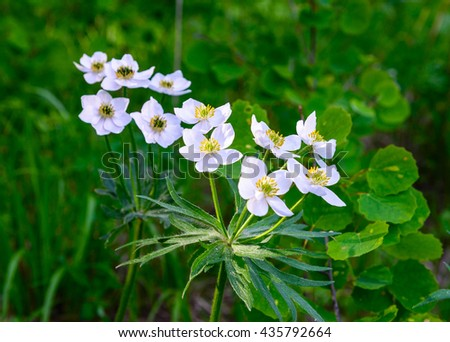 Anemone, white forest flowers, green