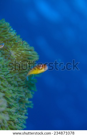 anemonefish - stock photo
