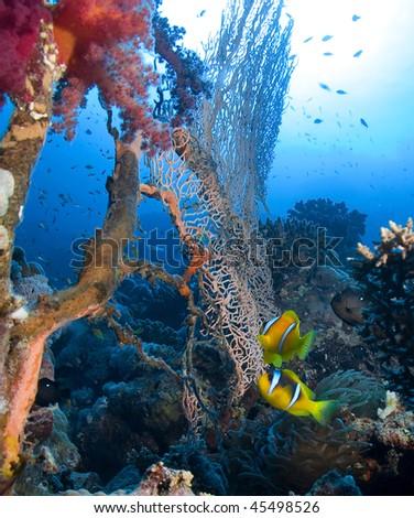 Anemonefish,anemone and sea - stock photo