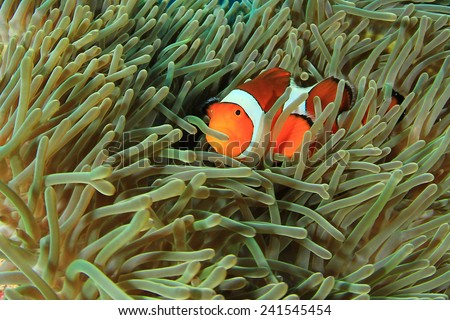 Anemonefish (Clownfish) in anemone - stock photo