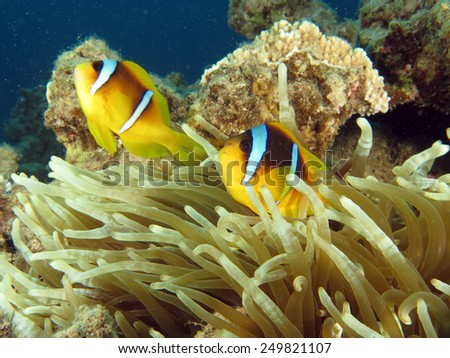 Anemonefish couple in anemone, Dahab, Red Sea