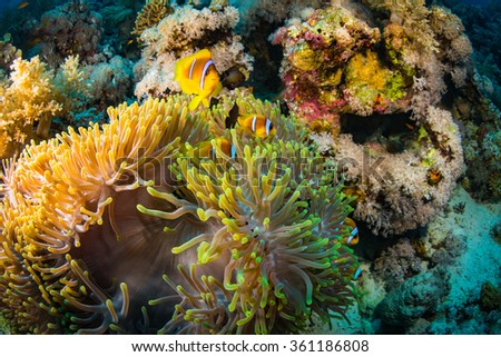 Anemonefish on a coral reaf in Red Sea - stock photo