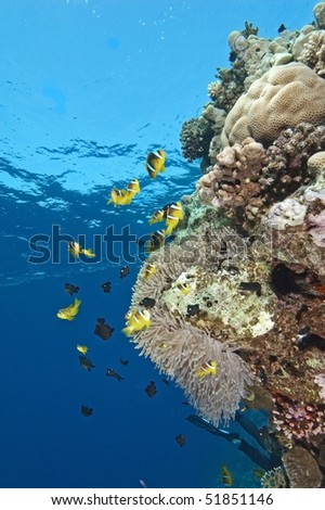 Anemonefish on a coral reef wall with a blue water background - stock photo