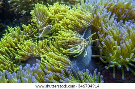 Anemonefish or clownfish in its natural habitat. - stock photo