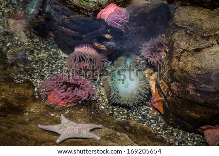 Anemones and seastars are found in a tide pool along the California coastline. Tide pools offer windows into temperate marine habitats and wildlife in the eastern Pacific Ocean. - stock photo
