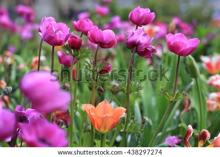 Anemones and tulip  - stock photo