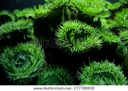 Anemones are found in an aquarium tank. Aquariums allow visitors to view a wide variety of marine life that they would never be able to see in nature. Aquariums are important educational institutions. - stock photo