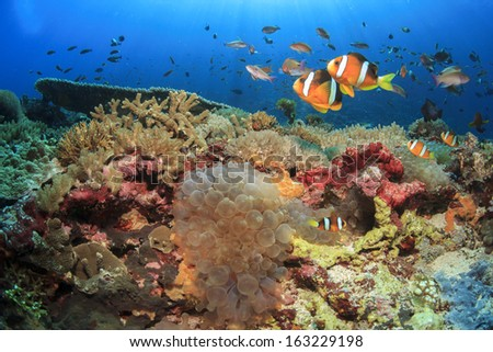Anemones, Clownfish underwater on coral reef - stock photo