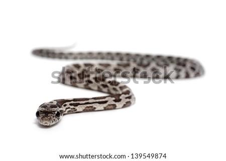 Anerythristic Corn Snake on a white background - stock photo