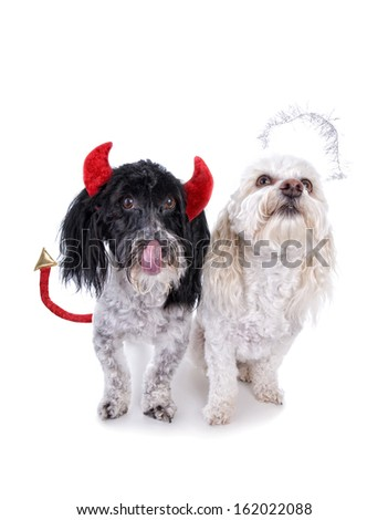 Angel and devil , good bad, Havanese dogs, isolated on white