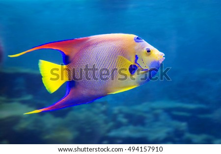 Angel Fish For a spot on the head, resembling a crown, an angel, and received one of its names angel fish Queen.