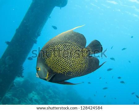 Angel Fish in the Caribbean Sea - stock photo
