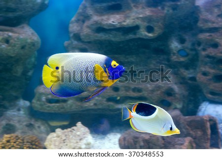 Angel Fish Large angel fish, distinguished by a bright blue head with a yellow or orange mask and a bright, dark-blue spot on the rear dorsal fin.