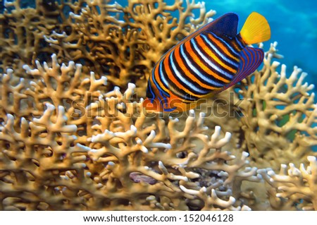 Angel fish (Pygoplites diacanthus). - stock photo